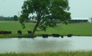 a cows in pond - Copy