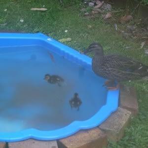 baby ducks in the water