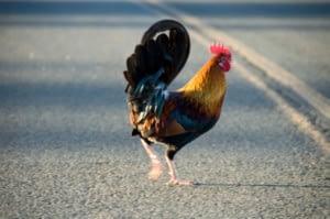 rooster crossing road